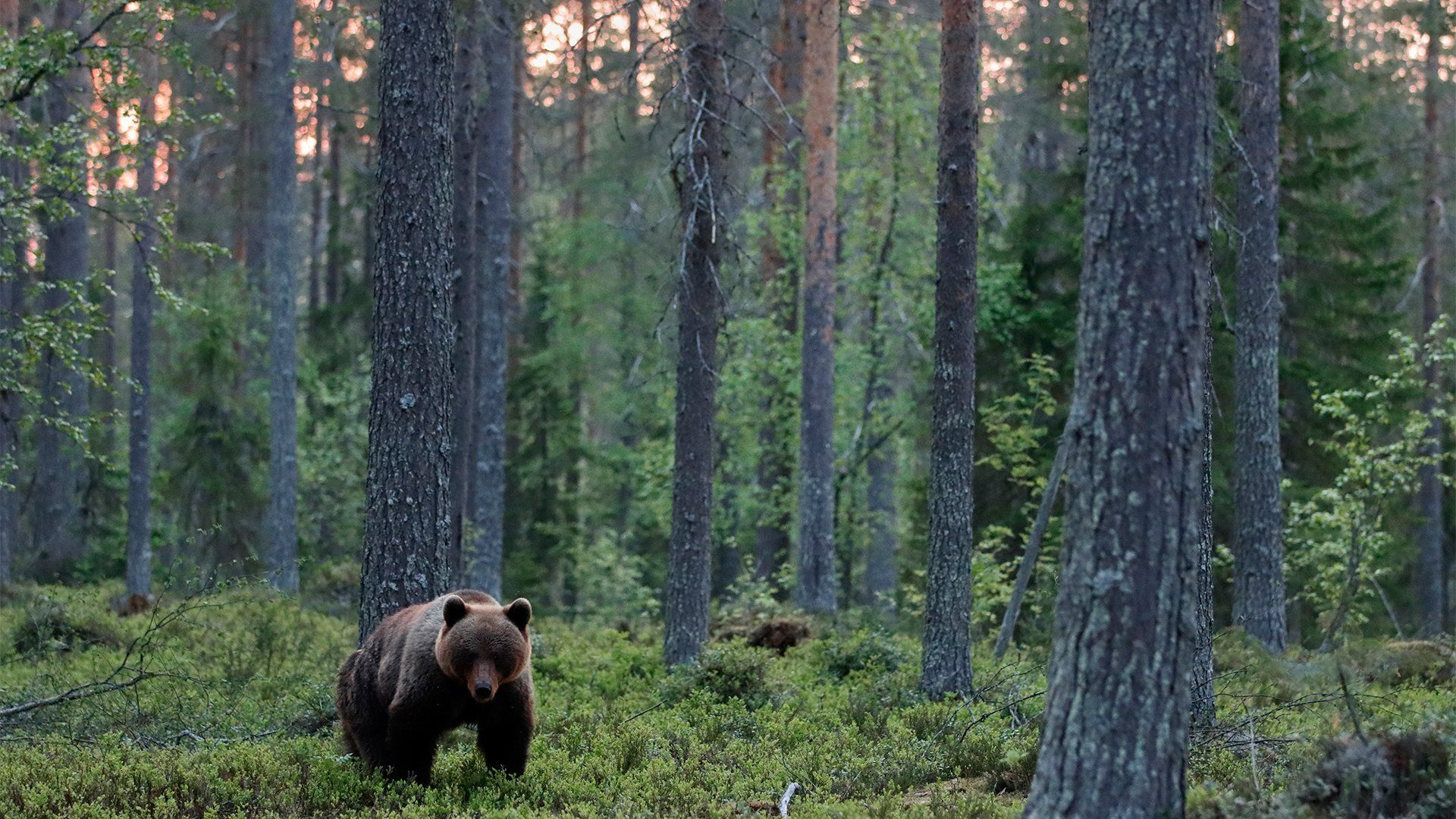 A brown bear in a wood, photographed with a Canon EOS 90D.